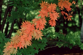 Green And Red Maple Leaf , 4 Maple Leaf Landscaping In Plants Category
