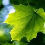 green leaf , 7 Green Leaf Landscaping In Plants Category