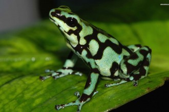 Green Poison Dart Frog , 6 Poisonous Dart Frog In Amphibia Category