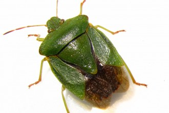 Green Shield Bug , 6 Bug Or Beetle In Bug Category