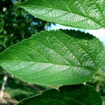 hackberry leaf , 6 Hackberry Tree Leaf Pictures In Plants Category