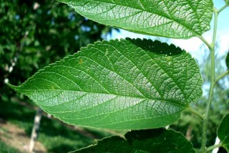hackberry leaf in Spider