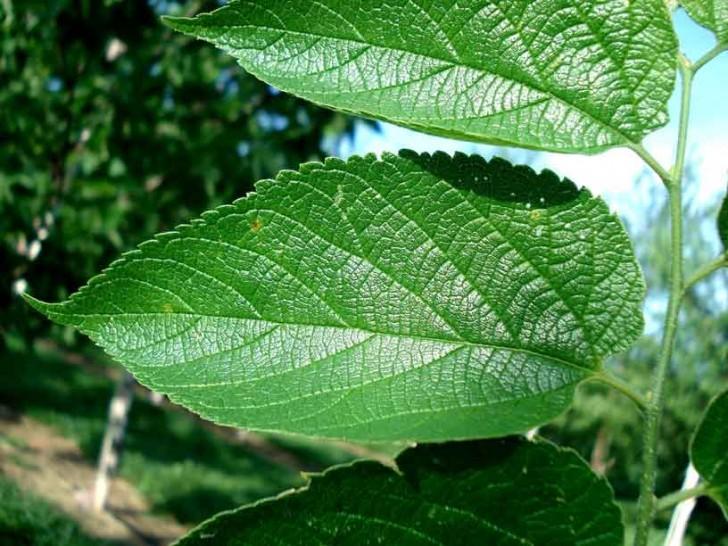 Plants , 6 Hackberry Tree Leaf Pictures : Hackberry Leaf