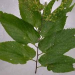 hackberry tree leaf facts , 6 Hackberry Tree Leaf Pictures In Plants Category