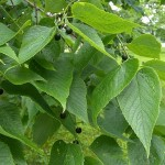 hackberry tree leaf pictures , 6 Hackberry Tree Leaf Pictures In Plants Category