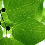 hackberry tree leaves , 6 Hackberry Tree Leaf Pictures In Plants Category