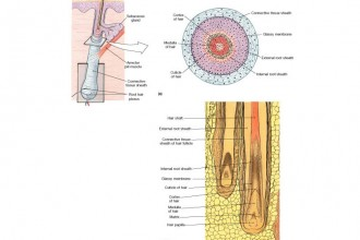 hair follicle, root and lower structure in Dog