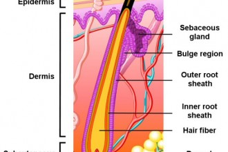 hair follicle structure in Organ