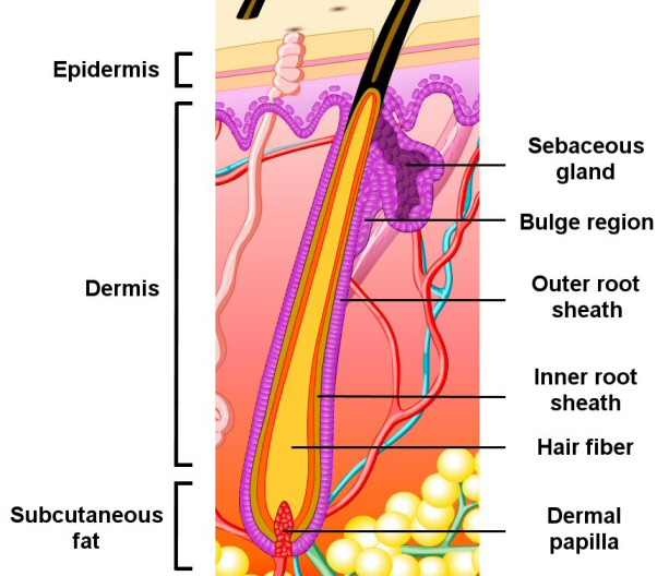Organ , 8 Structure Hair Follicle Pictures : Hair Follicle Structure