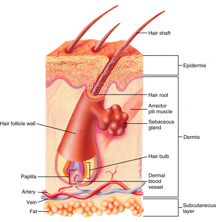 Organ , 8 Structure Hair Follicle Pictures : Hair Follicle Tubelike Structure