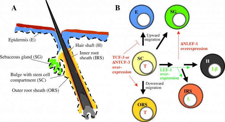 Organ , 8 Structure Hair Follicle Pictures : Hair Structure And Tissues