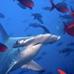 hammerhead , 6 Facts About Hammerhead Sharks In pisces Category