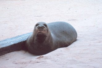 Hawaiian Monk Seal Endangered , 5 Hawaiian Monk Seal Facts In Mammalia Category