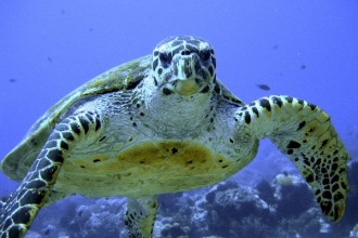 Hawksbill Sea Turtle Image , 6 Hawksbill Sea Turtle Facts In Reptiles Category