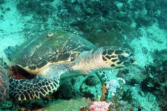 Hawksbill Sea Turtle Interesting Facts , 6 Hawksbill Sea Turtle Facts In Reptiles Category
