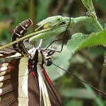 Heliconius charithonia laying eggs , 6 Zebra Longwing Butterfly Laying Eggs Photo In Butterfly Category