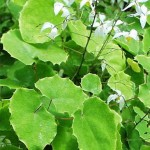 herba epimedium sagittatum , 6 Epimedium Herb In Plants Category