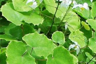 Herba Epimedium Sagittatum , 6 Epimedium Herb In Plants Category