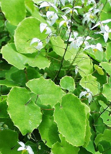 Plants , 6 Epimedium Herb : Herba Epimedium Sagittatum