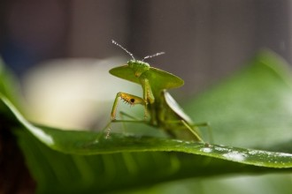 Hooded Leaf Mantis , 6 Pictures Of Leaf Mantis In Orthoptera Category