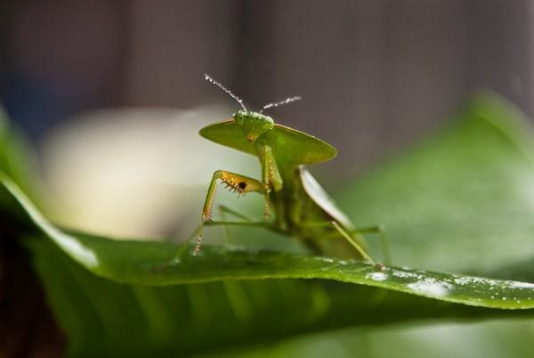 Orthoptera , 6 Pictures Of Leaf Mantis : Hooded Leaf Mantis