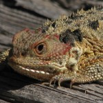 horney toad fact , 6 Horney Toads In Reptiles Category