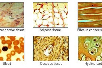 Human Body Tissue , 7 Tissue Pictures In The Human Body In Cell Category