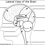 human brain anatomy quiz , 4 Human Brain Diagram Quiz In Brain Category