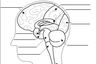 Human Brain Anatomy Quiz , 4 Human Brain Diagram Quiz In Brain Category
