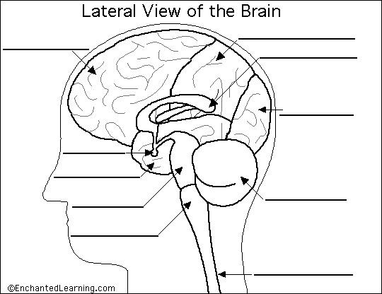 Anatomy Brain Quiz - Best Brain 2018