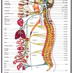 human nervous system , 6 Nervous System Diagrams In Brain Category
