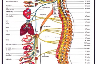 human nervous system in Spider