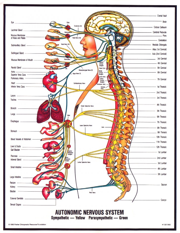 Brain , 6 Nervous System Diagrams : Human Nervous System