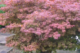 Japanese Maple Tree , 7 Maple Leaf Lawn Care In Plants Category