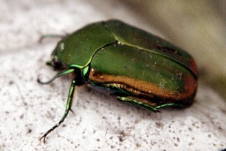 june beetle in Cat