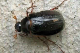 june beetle photo  in Bug