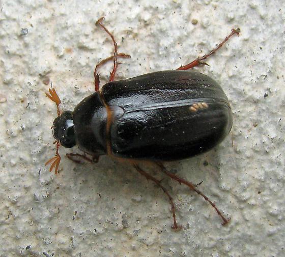 Bug , 6 June Bug Beetles : June Beetle Photo
