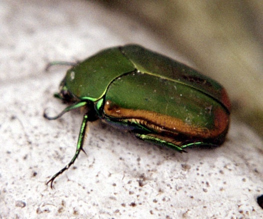 june beetle