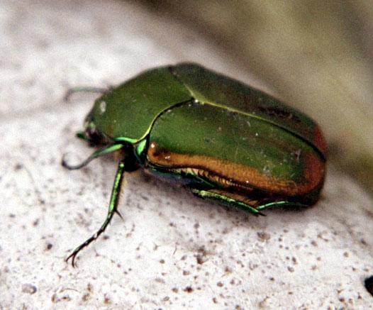 Bug , 6 June Bug Beetles : June Beetle