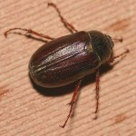 june bug beetle photo , 6 June Bug Beetles In Bug Category