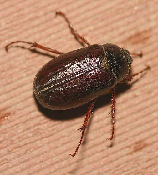 Bug , 6 June Bug Beetles : June Bug Beetle Photo