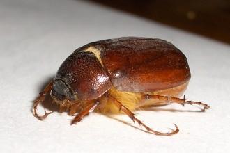 June Bug Beetles , 6 June Bug Beetles In Bug Category