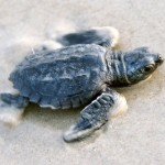kemp's ridley sea turtle endangered , 6 Kemp's Ridley Sea Turtle In Reptiles Category
