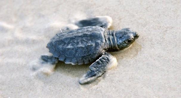 Reptiles , 6 Kemp's Ridley Sea Turtle : Kemp's Ridley Sea Turtle Endangered