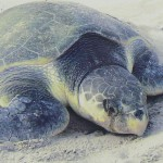kemp's ridley sea turtle facts , 6 Kemp's Ridley Sea Turtle In Reptiles Category