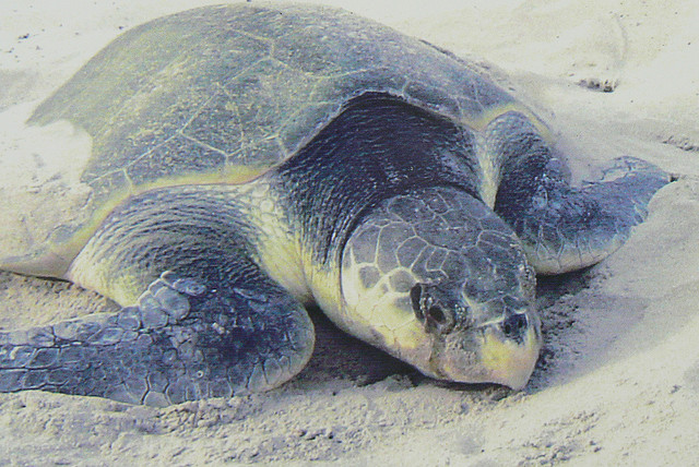 Reptiles , 6 Kemp's Ridley Sea Turtle : Kemp's Ridley Sea Turtle Facts