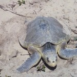 kemp's ridley sea turtle pictures , 6 Kemp's Ridley Sea Turtle In Reptiles Category