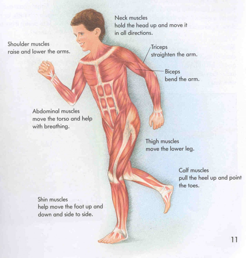 labeled diagram of muscular system