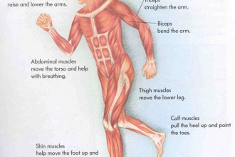 labeled diagram of muscular system in