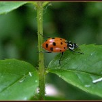 ladybird beetles , 6 Photos Of Lady Bug Beetle In Bug Category